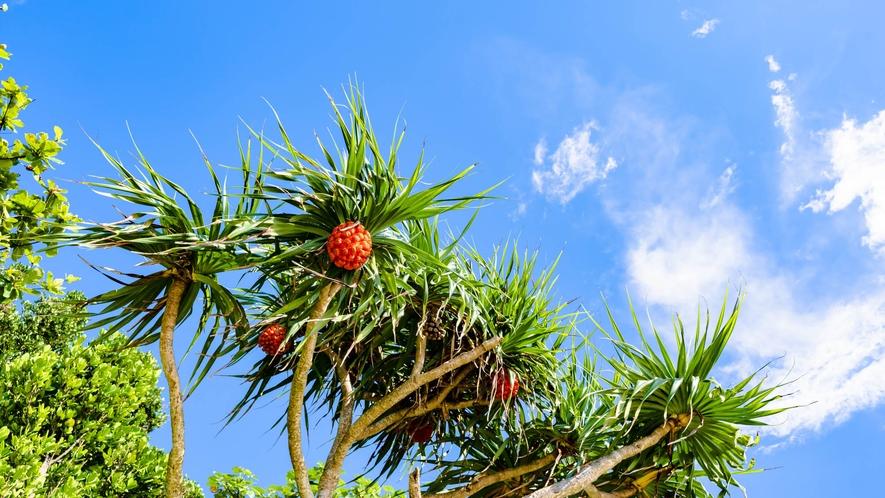 ・沖縄の植物、アダンの実