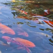 四季を彩る日本庭園の鯉