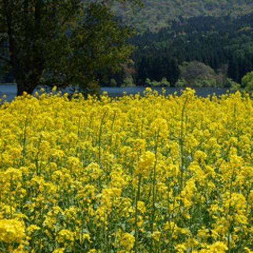 北竜湖と菜の花