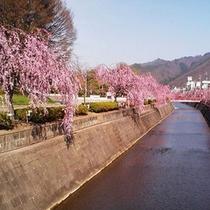 ■倉津川のしだれ桜