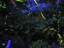 ホタル幻想の舞いは6月が旬。なんと!☆彡宿のあるじが手掘りの池で育てたホタルたちです