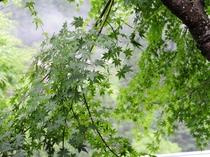 施設内の新緑のモミジ。秋には艶やかな緋色に染まり、風情たっぷり。何度でもぜひお越しください。