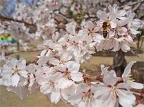 気温によって変わりますが、今年は3月下旬~4月初旬が桜の見ごろです。花見露天も楽しめます♪