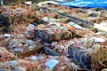 水揚げされた活蟹