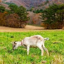 緑豊かな自然宝庫にいつの間にかヤギも心躍る♪