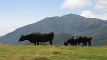 ドンデン高原の放牧牛と金北山