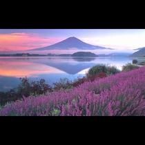 ■朝焼けの富士山とラベンダー<夏>(写真提供:富士河口湖 観光課)