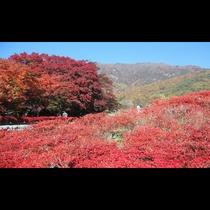 ■もみじ回廊<秋>(写真提供:富士河口湖 観光課)