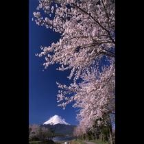 ■富士山と桜まつり<春>(写真提供:富士河口湖 観光課)