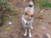 四国犬のゴマ
