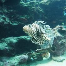 【美ら海水族館】ストライブ柄のお魚さん。