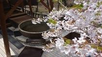 桜と露天風呂