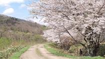 お散歩コースの桜並木