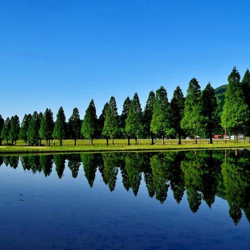 水田に映るメタセコイア並木
