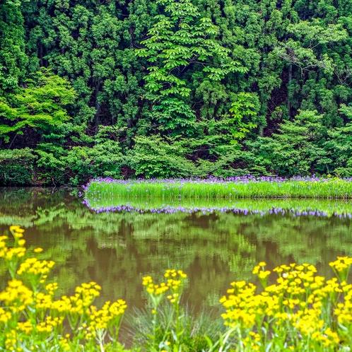 平池のカキツバタ