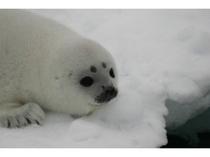 流氷の上で休むクラカケアザラシの子供