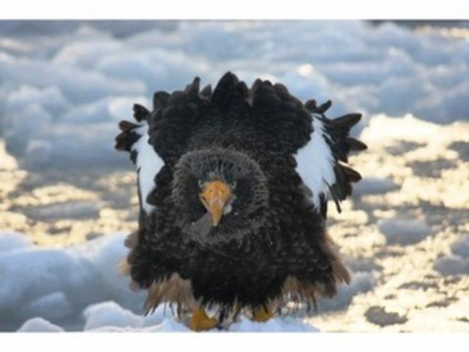 流氷の上から飛び立つ瞬間のオオワシ