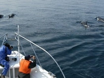シャチが好奇心を持って船の近くを泳ぐことも。春先は例年シャチの遭遇率が向上中です!