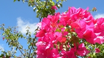 【鮮やかに咲くブーゲンビリア】1年中、色鮮やかな花々が島の風景を彩ります