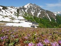 谷川岳天神平、咲き誇る花々をお楽しみください♪