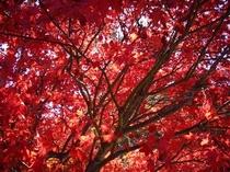 秋の日に、ふと見上げる紅葉はなんて美しいのだろう。その場に寝転んで見上げていたら顔に、体に舞い降りて