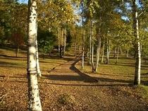 秋の日。八ヶ岳テラスの裏の白樺林は風情あるお散歩にぴったりです。なんてロマンチック。