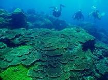 富賀浜のサンゴ