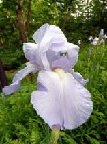 花ショウブ 薄紫