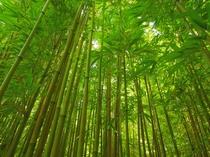 青々と茂る大名竹の竹林