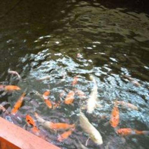 館内を優雅に泳ぐ鯉☆