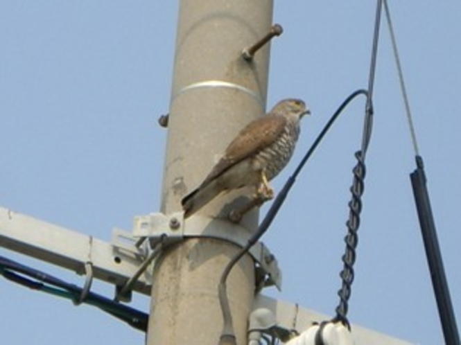 電柱で遠くを見ている鷹