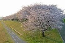 北区荒川の桜③