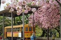 飛鳥山公園の桜④