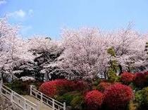飛鳥山公園の桜②