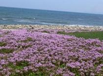 施設の遊歩道に咲く花★季節によりラベンダーも採取できます。四葉のクロバーも発見確率高い遊歩道ですよ★
