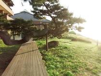 海岸には風情のある、大きな松があります