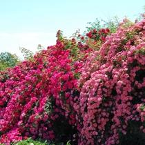 【茨城県フラワーパーク】当館から63km。年間を通して様々な花が咲き乱れて訪れる人を楽しませています