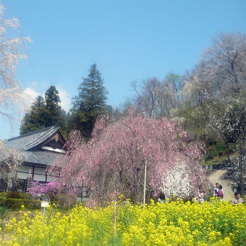 法善寺のしだれ桜(4月中旬頃)お車で約2〜3分