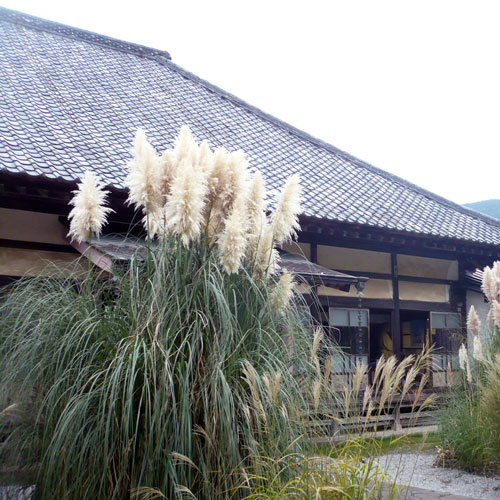 長瀞七草寺のひとつ道光寺の尾花(9月上旬〜中旬)お車で約10分