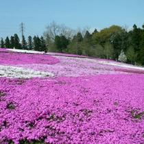 羊山公園の芝桜(4月下旬〜5月上旬)お車で約30分