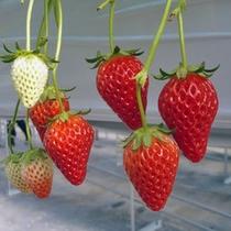 長瀞・秩父エリアには多数のいちご農園さんがあります(時期は1月上旬〜4月下旬)
