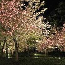 通り抜けの桜ライトアップ(4月中旬~下旬)※天候や気温により前後します)