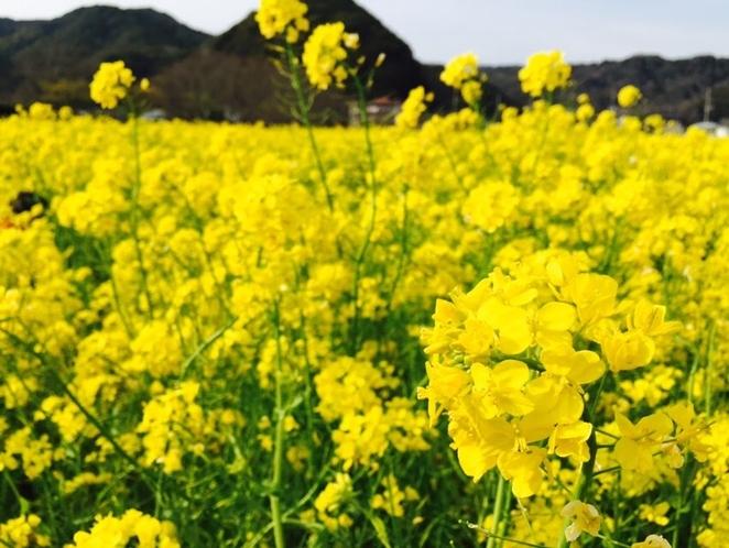 南伊豆、菜の花畑