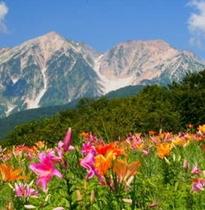 【夏】素晴らしい絶景とユリの競演・岩岳ユリ園(ホテルから車10分)見ごろは8月上中旬