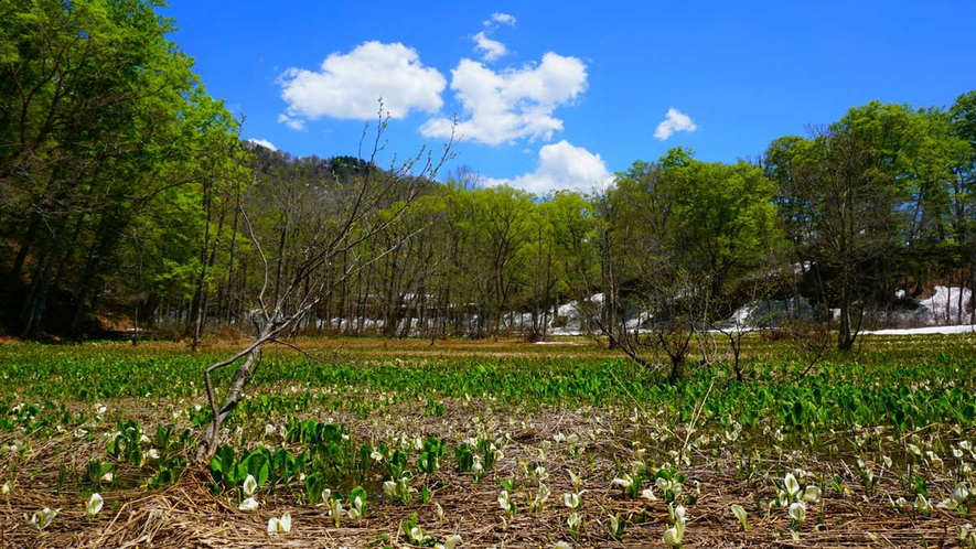 【春】本州一の規模81万株とめちゃスゴイ水芭蕉が癒しのスポット&秘境鬼無里 車60分の価値あり