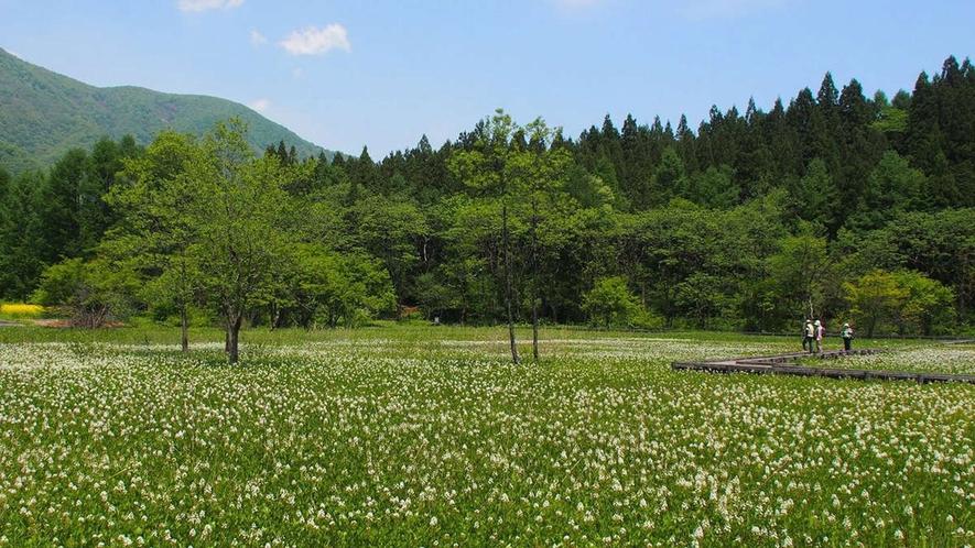 【春】5月、一面を白い花が覆いつくす「親海湿原」隣の姫川源流と花の小散歩。車15分・見学所要60分