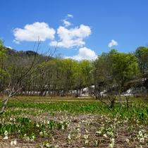 【春】国内最大群落のミズバショウが楽しめる鬼無里奥裾花自然園(ホテルから車60分)5月上~下旬