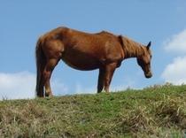 草原をゆったり移動しながら散歩中の『与那国馬』