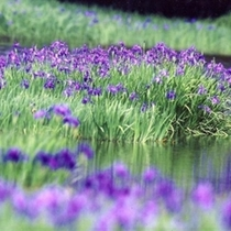 国の天然記念物 小堤西池のカキツバタ群落