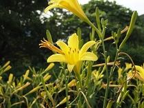 ゆうすげの花